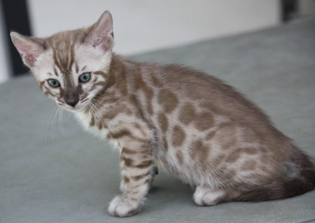 Seal Lynx Point, snow leopard bengal kittens in FL snow leopard bengal kittens for sale seal Lynx Mink Sepia charcoal snow charcoal seal lynx point charcoal mink charcoal bengal snow bengal snow charcoal kitten snow charcoal bengal charcoal snow bengal