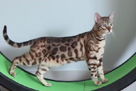 Lap Leopard Bengals - Bengal Kittens for Sale & Breeder in ...