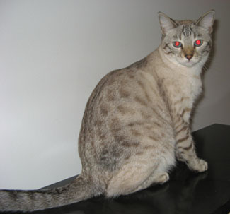 Exotic Snow Bengal Kittens for Sale and snow Bengal cats For Sale