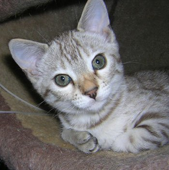 Exotic Snow Bengal Kittens For Sale And Snow Bengal Cats For Sale From Bengal Cat Breeder Bengal